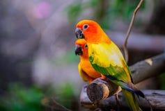 Perroquets colorés de perruches de paires sur la branche photo stock
