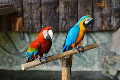 Perroquets colorés lumineux Photo libre de droits