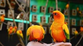 Perroquets colorés sur la main d'A Images stock