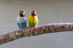 Perroquets colorés sur le branchement (regardant l'avant) Photographie stock libre de droits