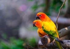 Perroquets color?s de perruches de paires sur la branche photo libre de droits