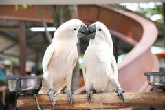 Perroquets d'amant photos stock