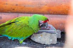 Perroquets d'Amazone photos stock