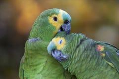 Perroquets d'Amazone Photographie stock