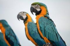 Perroquets d'ara images libres de droits