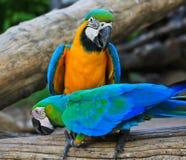 Perroquets d'ara photographie stock libre de droits