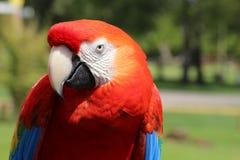 Perroquets d'ara photo libre de droits