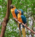 Perroquets d'ara dans Guyaguill, Equateur images libres de droits