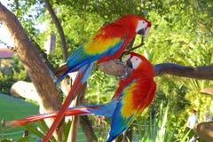 Perroquets d'ara, Mexique photo libre de droits