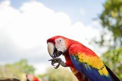 Perroquets d'ara vus au site archéologique des ruines de Copan au Honduras images stock