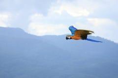 Perroquets d'aras image stock