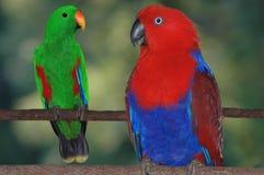 Perroquets d'Eclectus photo libre de droits