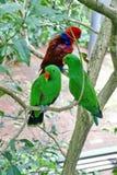 Perroquets d'Eclectus dans l'Australie images libres de droits