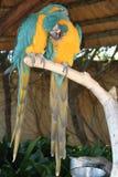 Perroquets dans l'amour Images stock