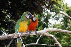 Perroquets dans l'amour photo stock