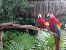 Perroquets dans la forêt tropicale de paradis photos libres de droits