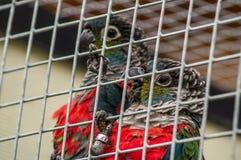 Perroquets dans un zoo russe images stock