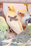 Perroquets dans une cage photographie stock