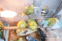 Perroquets dans une cage image stock
