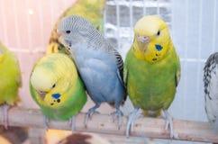 Perroquets dans une cage images stock