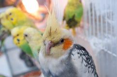 Perroquets dans une cage image libre de droits