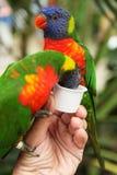 Perroquets de alimentation images stock