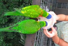 Perroquets de alimentation en parc Singapour d'oiseau images stock