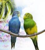 Perroquets de Budgerigar image libre de droits