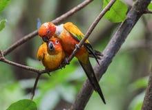 Perroquets de caresse photographie stock libre de droits