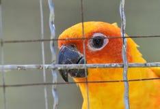 Perroquets de conure de Sun dans la cage images stock