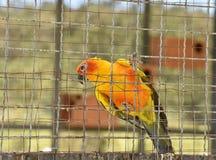 Perroquets de conure de Sun dans la cage photo stock