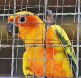Perroquets de conure de Sun dans la cage photographie stock