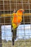 Perroquets de conure de Sun dans la cage photo libre de droits