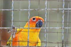 Perroquets de conure de Sun dans la cage images libres de droits