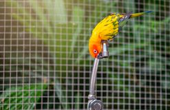 Perroquets de conure de Sun essayant de boire l'eau photos libres de droits