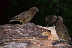 Perroquets de Kea, oiseaux endémiques de montagne du Nouvelle-Zélande images stock