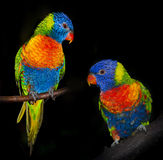 Perroquets de Lorikeet d'arc-en-ciel photographie stock