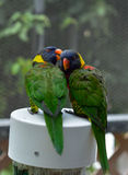 Perroquets de Lorikeet d'arc-en-ciel Photos stock