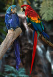 Perroquets de Macaw Photos stock