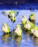Perroquets de moine image stock