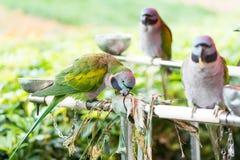 Perroquets de perruche de Derbyan Image stock