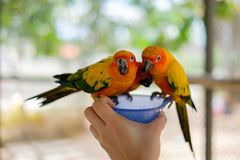 Perroquets de perruche de Sun étant perché sur une cuvette Photographie stock