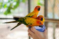 Perroquets de perruche de Sun étant perché sur une cuvette Photo stock