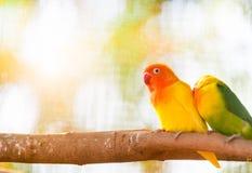 Perroquets de perruche se reposant ensemble sur un arbre images stock