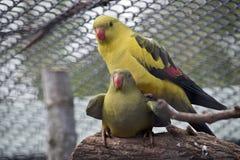 Perroquets de régent photographie stock libre de droits