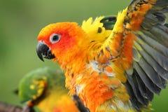 Perroquets de Sun Conure photographie stock