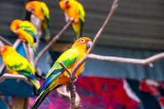 Perroquets de Sun Conure photographie stock libre de droits