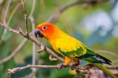Perroquets de Sun Conure Image libre de droits
