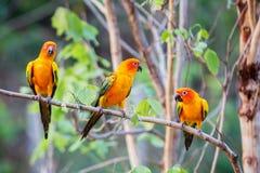 Perroquets de Sun Conure Photo libre de droits