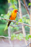 Perroquets de Sun Conure Photo stock